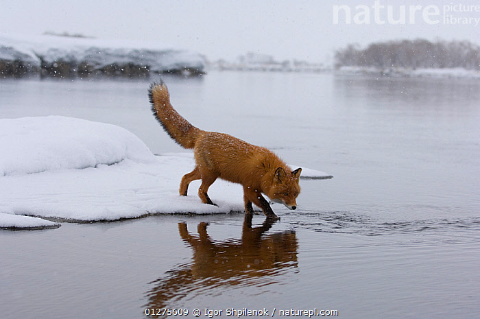 Red Fox (Vulpes vulpes) crossing winter river in the snow, Kronotsky Zapovedmik, Kamchatka, Russia  ,  CANIDS,CARNIVORES,FOXES,KAMCHATKA,LANDSCAPES,MAMMALS,RIVERS,RUSSIA,SNOW,VERTEBRATES,WATER,WINTER,Dogs  ,  Igor Shpilenok