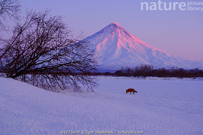 Red Fox (Vulpes vulpes) in snowy winter landscape at dusk, with Kronotsky Volcano behind, Kronotsky Zapovednik, Kamchatka, Russia  ,  CANIDS,CARNIVORES,DUSK,FOXES,KAMCHATKA,LANDSCAPES,MAMMALS,MOUNTAINS,RUSSIA,SNOW,VERTEBRATES,VOLCANOES,WINTER,Geology,Dogs  ,  Igor Shpilenok