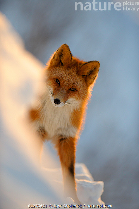 Red Fox (Vulpes vulpes)  portrait in the snow, with rays of sunlight. Kronotsky Zapovednik, Kamchatka, Russia  ,  animal ear,animal head,animals in the wild,CANIDS,CARNIVORES,CATALOGUE2G,close up,CLOSE UPS,cunning,EARS,ears pricked,FOXES,front view,HEADS,Kamchatka,Kronotskty Zapovednik,looking at camera,MAMMALS,nature,Nobody,one animal,outdoors,PORTRAITS,RUSSIA,SNOW,STANDING,SUN,sunlight,VERTEBRATES,VERTICAL,WILDLIFE,WINTER,Dogs  ,  Igor Shpilenok