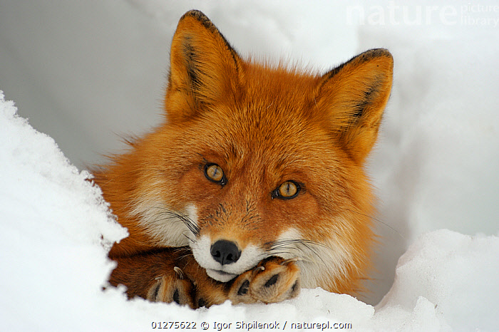 Red Fox (Vulpes vulpes)  portrait in a snow hole, Kronotsky Zapovednik, Kamchatka, Russia  ,  CANIDS,CARNIVORES,CLOSE UPS,FACES,FOXES,KAMCHATKA,MAMMALS,PAWS,PORTRAITS,RUSSIA,SNOW,VERTEBRATES,WINTER,Dogs  ,  Igor Shpilenok