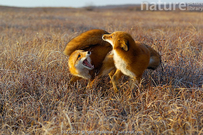 Two Red Foxes (Vulpes vulpes)  fighting on tundra, Kronotsky Zapovednik, Kamchatka, Russia  ,  BEHAVIOUR,CANIDS,CARNIVORES,FIGHTING,FOXES,KAMCHATKA,MAMMALS,PLAYING,RUSSIA,TUNDRA,TWO,VERTEBRATES,Aggression,Dogs  ,  Igor Shpilenok