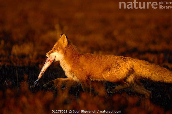 Red Fox (Vulpes vulpes)  running and carrying a fish, Kronotsky Zapovednik, Kamchatka, Russia  ,  BEHAVIOUR,CANIDS,CARNIVORES,DUSK,FISH,FORAGING,FOXES,HUNTING,KAMCHATKA,MAMMALS,RUNNING,RUSSIA,SCAVENGING,VERTEBRATES,Dogs  ,  Igor Shpilenok
