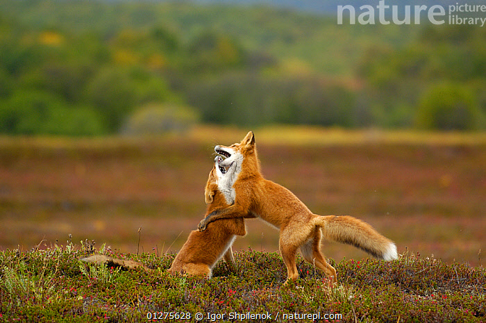 Two Red Foxes (Vulpes vulpes)  playing in the tundra, Kronotsky Zapovednik, Kamchatka, Russia  ,  BEHAVIOUR,CANIDS,CARNIVORES,FOXES,KAMCHATKA,MAMMALS,PLAY,PLAYING,RUSSIA,TUNDRA,VERTEBRATES,Communication,Dogs  ,  Igor Shpilenok