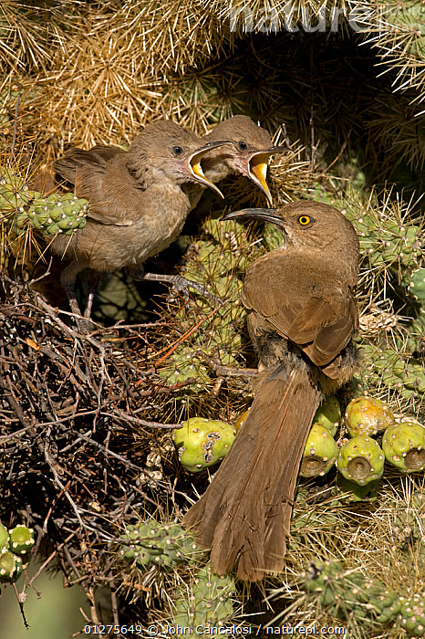 Curve-billed Thrasher chicks (Toxostoma curvirostre) with adult attending young on nest, Arizona, USA  ,  BABIES,BEHAVIOUR,BIRDS,CACTI,CHICKS,DESERTS,FAMILIES,FEEDING,NESTS,THRASHERS,USA,VERTEBRATES,VERTICAL,Plants,North America  ,  John Cancalosi