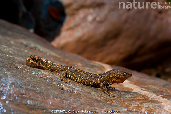 Pyrenean brook salamander (Euproctus asper) in the fresh rivers of the Pyrenees mountains, Europe.  ,  AMPHIBIANS, EUROPE, FRESHWATER, MOUNTAINS, pyrenees, RIVERS, SALAMANDERS, VERTEBRATES  ,  Inaki Relanzon