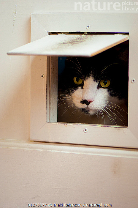 Young domestic cat (Felis catus), peering through cat flap, Spain.  ,  BLACK AND WHITE,CATS,CURIOUS,EXPRESSIONS,FACES,HEADS,INDOORS,PETS,SPAIN,VERTEBRATES,Europe  ,  Inaki Relanzon