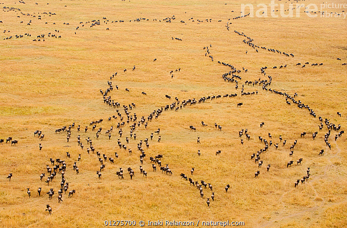 Migrating wildebeest (Connochaetes taurinus) observed from a hot-air balloon, Masai Mara National Reserve, Kenya, Africa. August 2009  ,  AERIALS,ARTIODACTYLA,BEHAVIOUR,BOVIDS,EAST AFRICA,GRASSLAND,GROUPS,MAMMALS,MIGRATION,NP,RESERVE,SAVANNA,VERTEBRATES,WILDEBEESTS,National Park,Antelopes  ,  Inaki Relanzon