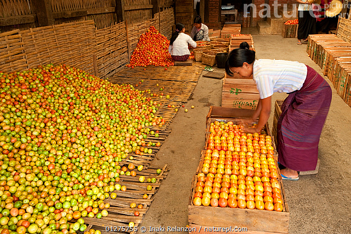 Women working in a tomato factory, Inle Lake, Shan State, Myanmar, Burma.  August 2009  ,  AGRICULTURE,ASIA,BURMA,CROPS,HARVESTING,INDUSTRY,ORANGE,PEOPLE,SOLANACEAE,SOUTH EAST ASIA,TOMATO PLANT,TOMATOES,TRADE,WOMEN,WORKING,YELLOW  ,  Inaki Relanzon