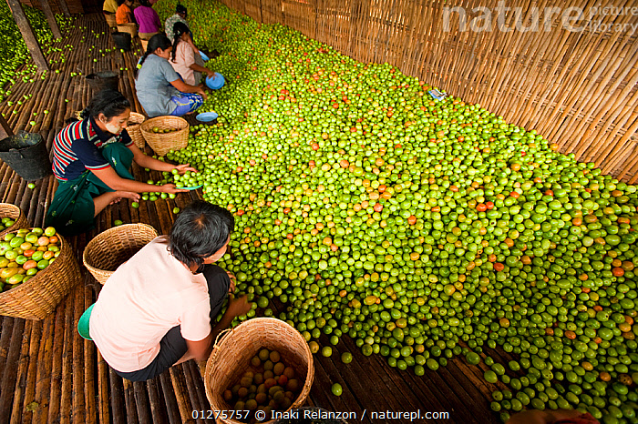 Women working in a tomato factory, Inle Lake, Shan State, Myanmar / Burma.  August 2009  ,  AGRICULTURE,ASIA,BASKETS,BURMA,CROPS,GREEN,HARVEST,HARVESTING,HIGH ANGLE,INDUSTRY,PEOPLE,SOUTH EAST ASIA,TOMATOES,TRADE,WOMEN,WORKING  ,  Inaki Relanzon