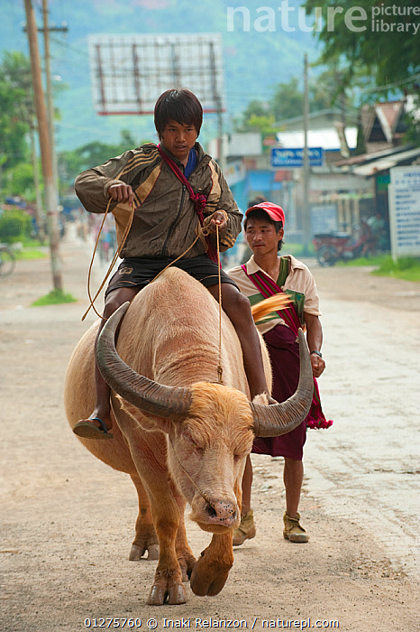 Boy riding a bull, Inle Lake, Shan State, Myanmar, Burma.  August 2009  ,  ARTIODACTYLA,BOVIDS,BULLS,BURMA,CATTLE,CHILDREN,LIVESTOCK,MAMMALS,PEOPLE,RIDING,ROADS,SOUTH EAST ASIA,VERTEBRATES,VERTICAL,WATER BUFFALO  ,  Inaki Relanzon