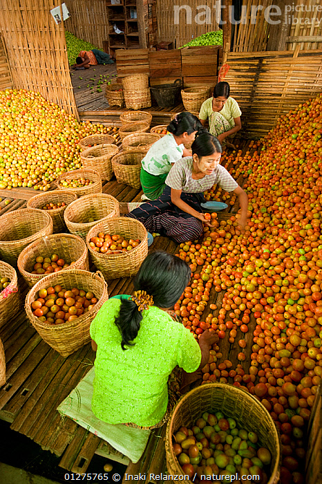 Women working in a tomato factory, Inle Lake, Shan State, Myanmar/ Burma. August 2009  ,  AGRICULTURE,ASIA,BURMA,CROPS,CULTURES,HARVESTING,INDUSTRY,ORANGE,SOLANACEAE,SOUTH EAST ASIA,TOMATO PLANT,TRADITIONS  ,  Inaki Relanzon