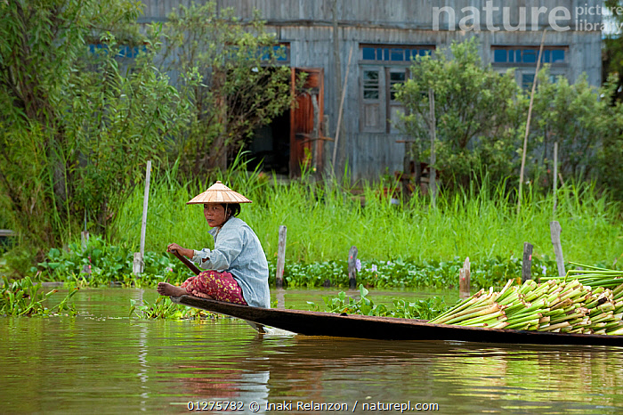 Traditional fisherman, with a boat full of crops, in Inle Lake, Shan State, Myanmar, Burma. August 2009  ,  ASIA,BOATS,BURMA,CROPS,CULTURES,FISHING,HARVESTING,MEN,PEOPLE,RIVERS,SOUTH EAST ASIA,TRADITIONS  ,  Inaki Relanzon