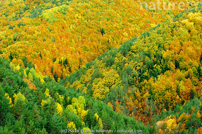 Mixed forest colours in Autumm in the Ordesa and Monte Perdido National Park, Arag�n, Pyrenees, Spain. October 2009, ARTY SHOTS,ATMOSPHERIC,AUTUMN,COLOURFUL,EUROPE,FORESTS,GREEN,LANDSCAPES,MOUNTAINS,NP,PYRENEES,WOODLANDS,YELLOW,National Park,,UNESCO World Heritage Site,, Inaki Relanzon