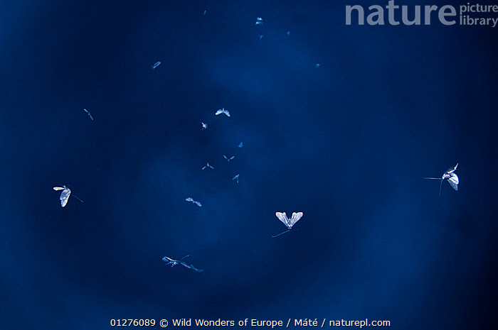 Insects in flight at dusk over the Prypiat river, Belarus, June 2009  ,  BELARUS,BENCE M�T�,BLUE,EUROPE,FLYING,GROUPS,INSECTS,INVERTEBRATES,PRIPYAT,WWE  ,  Wild Wonders of Europe / Máté