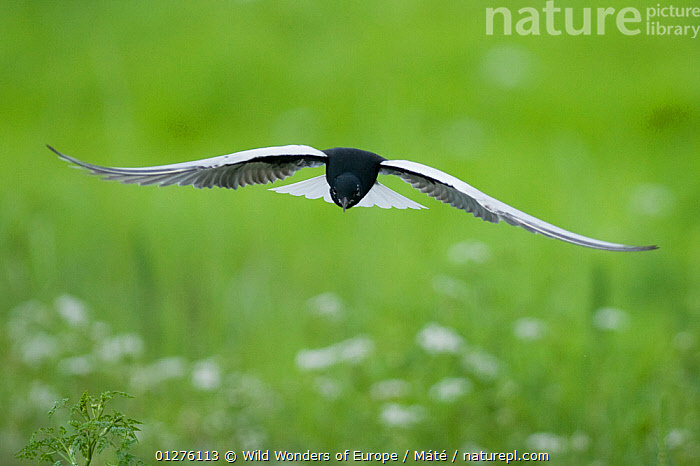 White winged black tern (Chlidonias leucopterus) in flight, Prypiat river, Belarus, June 2009  ,  BELARUS,BENCE M�T�,BIRDS,EUROPE,FLYING,PRIPYAT,SEABIRDS,TERNS,VERTEBRATES,WWE  ,  Wild Wonders of Europe / Máté