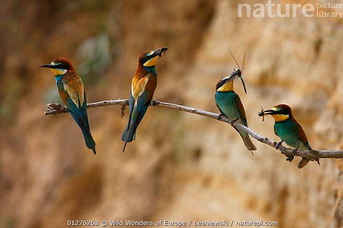 Four European bee eaters (Merops apiaster) perched on branch with food in breeding colony, Bagerova Steppe, Kerch Peninsula, Crimea, Ukraine, July 2009, BEE EATERS,BIRDS,COLOURFUL,EUROPE,FEEDING,GROUPS,GRZEGORZ LESNIEWSKI,INSECTS,INVERTEBRATES,PARENTAL,UKRAINE,VERTEBRATES,WWE, Wild Wonders of Europe / Lesniewski