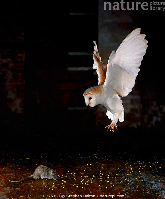 Barn owl (Tyto alba) in flight, flying down to catch rat prey, UK, manipulated image (controlled conditions rat protected by sheet of perspex)  ,  ACTION,BEHAVIOUR,BIRDS,BIRDS OF PREY,CLAWS,FLYING,high speed,MAMMALS,MIXED SPECIES,OWLS,PREDATION,rodents,VERTEBRATES,VERTICAL,Europe, United Kingdom,Raptor , Captive  ,  Stephen Dalton