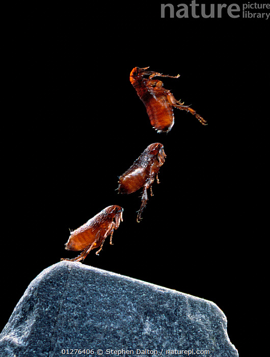 Cat flea {Ctenocephalides felis} leaping sequence, multiflash image  ,  ACTION,ARTHROPODS,BEHAVIOUR,FLEAS,HIGH SPEED,INSECTS,INVERTEBRATES,JUMPING,LEAPING,MOVEMENT,MULTI FLASH,SEQUENCE,SIPHONATERA,THREE,VERTICAL  ,  Stephen Dalton