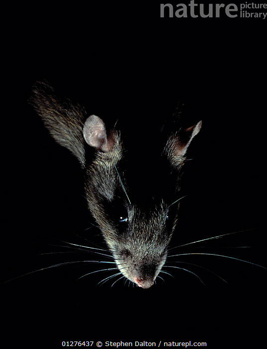 Brown rat {Rattus norvegicus} backlit at night, controlled conditions, UK  ,  light,MAMMALS,NIGHT,NOCTURNAL,PESTS,PORTRAITS,RATS,rodents,VERTEBRATES,VERTICAL,whiskers,Europe, United Kingdom,Muridae , Captive  ,  Stephen Dalton