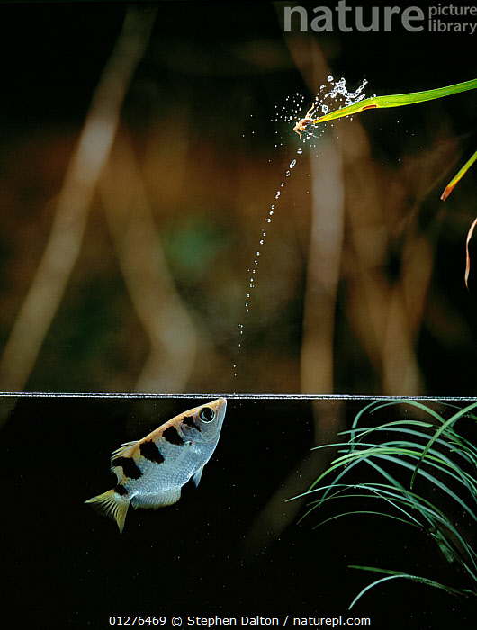 Archerfish {Toxotes sp} firing jet of water from mouth to dislodge insect prey, controlled conditions, from Asia and Australia  ,  ARCHER-FISH,ASIA,AUSTRALIA,BEHAVIOUR,FISH,FRESHWATER,INSECTS,OSTEICHTHYES,PREDATION,SPLIT-LEVEL,SPRAY,UNDERWATER,VERTEBRATES,WATER,TOXOTES SP,,,  ,  Stephen  Dalton