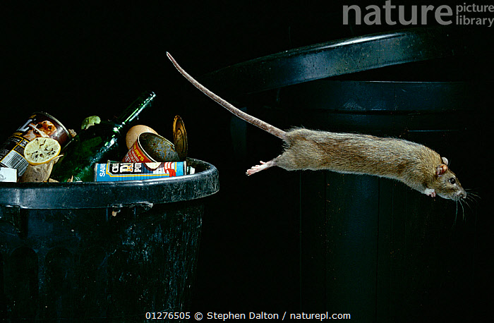 Brown rat {Rattus norvegicus} leaping from dustbin, controlled conditions, UK  ,  ACTION,BEHAVIOUR,JUMPING,LEAPING,MAMMALS,MOVEMENT,PESTS,POLLUTION,PROFILE,RATS,REFUSE,rodents,rubbish,URBAN,VERTEBRATES,Europe, United Kingdom,Muridae , Captive  ,  Stephen Dalton