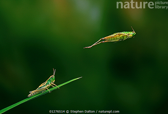 Meadow grasshopper {Chorthippus parellelus} jumping sequence, multiflash, UK  ,  ACTION,BEHAVIOUR,CUTOUT,EUROPE,GRASSHOPPERS,HIGH SPEED,INSECTS,INVERTEBRATES,JUMPING,LEAPING,MULTI FLASH,ORTHOPTERA,POWERFUL,PROFILE,SHORT HORNED GRASSHOPPERS,TWO,UK,Concepts, United Kingdom  ,  Stephen Dalton