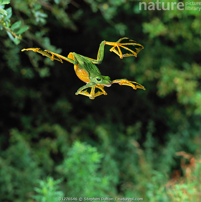 Wallace's flying frog (Rhacophorus nigropalmatus) gliding from tree, controlled conditions, from Malaysia and Indonesia  ,  ACTION,AMPHIBIANS,Anura,FLYING,FROGS,gliding,GREEN,high speed,INDONESIA,MOVEMENT,TREE FROGS,TROPICAL,VERTEBRATES,Asia , Captive  ,  Stephen Dalton