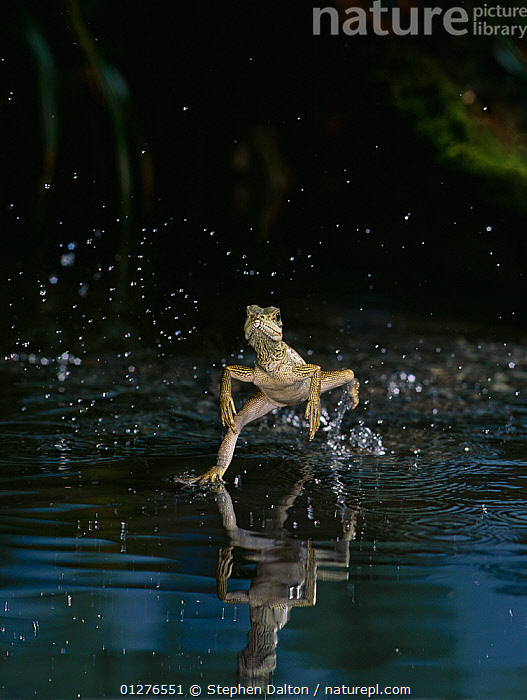 Giant sailfin dragon lizard {Hydrosaurus amboinensis} running over the surface of water, controlled conditions, from Indonesia, ACTION,AGAMAS,ASIA,CATALOGUE2,controlled conditions,effort,front view,full length,high speed,HUMOROUS,humour,hurry,INDONESIA,INTERESTING,LIZARDS,MOVEMENT,nature,Nobody,one animal,outdoors,pond,REPTILES,RUNNING,SPEED,splashing,urgency,VERTEBRATES,VERTICAL,WATER,water surface,Concepts,SOUTH-EAST-ASIA , Captive, Stephen Dalton