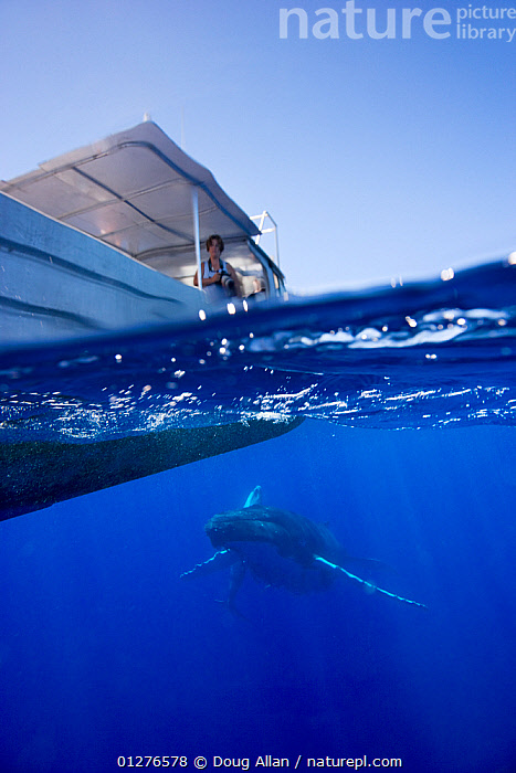 Humpback whale (Megaptera novaeangliae) swimming below a whale watching boat, Sue Flood, photographer in boat, Vava'u, Kingdom of Tonga, South Pacific, September 2006, Model released  ,  BLUE,blue sky,boat,BOATS,CATALOGUE2,CETACEANS,Kingdom of Tonga,low angle view,MAMMALS,MARINE,nature,OCEAN,one animal,one person,PACIFIC,PEOPLE,sea,South Pacific,SPLIT LEVEL,SWIMMING,TROPICAL,UNDERWATER,unusual angle,Vavau,VERTEBRATES,VERTICAL,WATER,water level,whale watching,WHALES,WOMAN  ,  Doug Allan