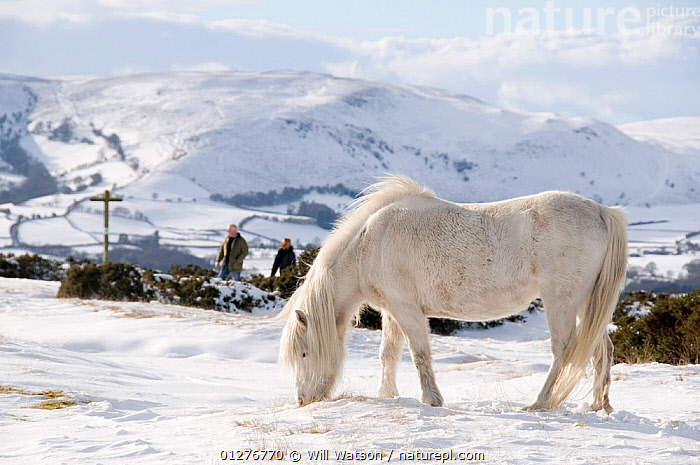 Domestic horse, grey Welsh Pony (Equus caballus) and walkers in snow on Offa's Dyke Path, Hergest Ridge, Wales, UK. February 2009  ,  CAMOUFLAGE,EUROPE,FEEDING,FOOTPATH,FOOTPATHS,GRAZING,HIKING,HORSES,LANDSCAPES,MAMMALS,PEOPLE,PERISSODACTYLA,RESERVE,SNOW,UK,WALKING,WILD PONIES,WINTER, United Kingdom,Equines  ,  Will Watson