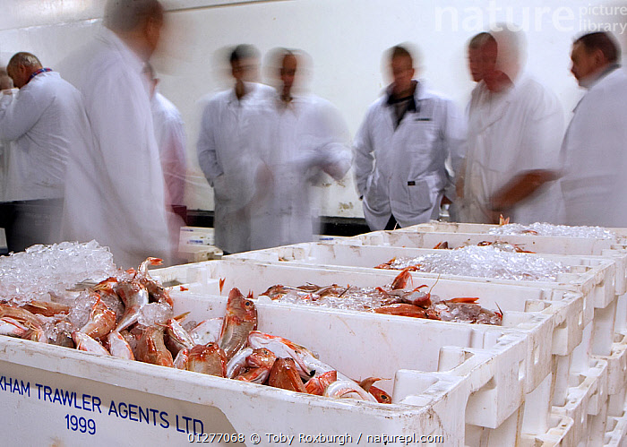 Nature Picture Library - Buyers surround crates of Red gurnard