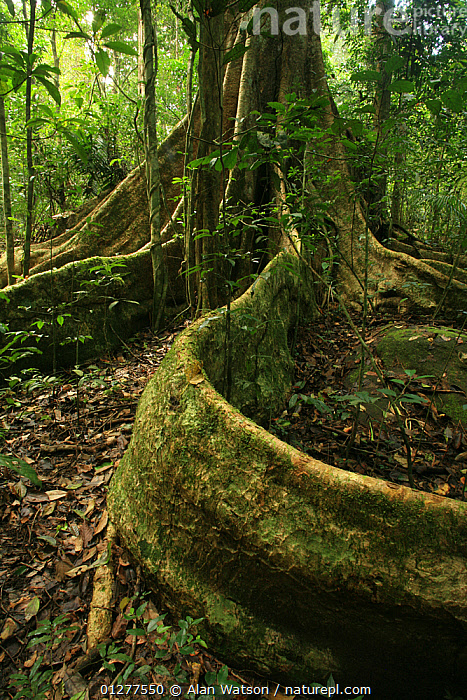 Buttress roots of tree (Tetrameles nudiflora) in tropical rainforest, Khao Yai National Park, Nakhon Ratchasima Province, Thailand  ,  ancient,ASIA,CATALOGUE2,forest,GROWTH,HABITAT,Khao Yai National park,Nakhon Ratchasima Province,nature,Nobody,NP,origins,outdoors,PLANTS,rainforest,RESERVE,ROOTS,SOUTH EAST ASIA,Tetramelaceae,THAILAND,tree trunk,TREES,TROPICAL,TROPICAL RAINFOREST,VERTICAL,woodland,Concepts,National Park  ,  Alan Watson
