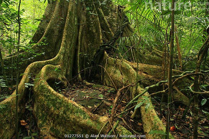 Buttress roots of (Tetrameles nudiflora) in tropical rainforest, Khao Yai National Park, Nakhon Ratchasima Province, Thailand  ,  ASIA,NP,PLANTS,RESERVE,ROOTS,SOUTH EAST ASIA,TETRAMELACEAE,TREES,TROPICAL RAINFOREST,National Park  ,  Alan Watson