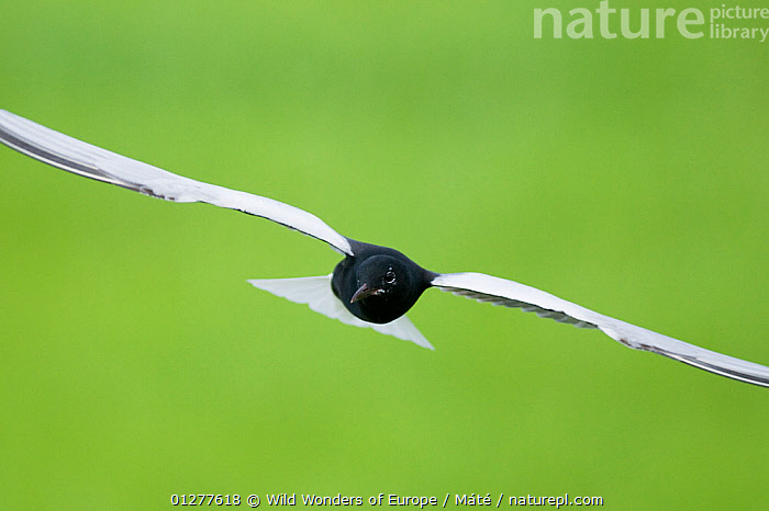 White winged black tern (Chlidonias Leucopterus) in flight, Prypiat river, Belarus, June 2009 WWE BOOK  ,  BELARUS,BENCE M�T�,BIRDS,CUTOUT,EUROPE,FLYING,PRIPYAT,SEABIRDS,TERNS,VERTEBRATES,WWE  ,  Wild Wonders of Europe / Máté