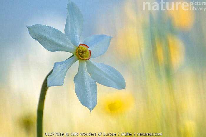 Poet's daffodil (Narcissus poeticus) in flower, Sibillini NP, Italy, May 2009 WWE BOOK. WWE INDOOR EXHIBITION  ,  AMARYLLIDACEAE,ARTY SHOTS,CLAUDIA M�LLER,EUROPE,FLOWERS,ITALY,MONOCOTYLEDONS,NP,PLANTS,RESERVE,WWE,National Park  ,  Wild Wonders of Europe / Müller