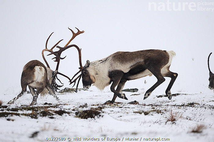 Reindeer (Rangifer tarandus) fighting, Forollhogna National Park, Norway, September 2008 WWE BOOK Wild Wonders kids book., ANTLERS,ARTIODACTYLA,BEHAVIOUR,CERVIDS,DEER,EUROPE,FIGHTING,MAMMALS,NORWAY,NP,RESERVE,SCANDINAVIA,SNOW,VERTEBRATES,vincent munier,WWE,Aggression, Scandinavia,National Park,Concepts, Scandinavia, Wild Wonders of Europe / Munier