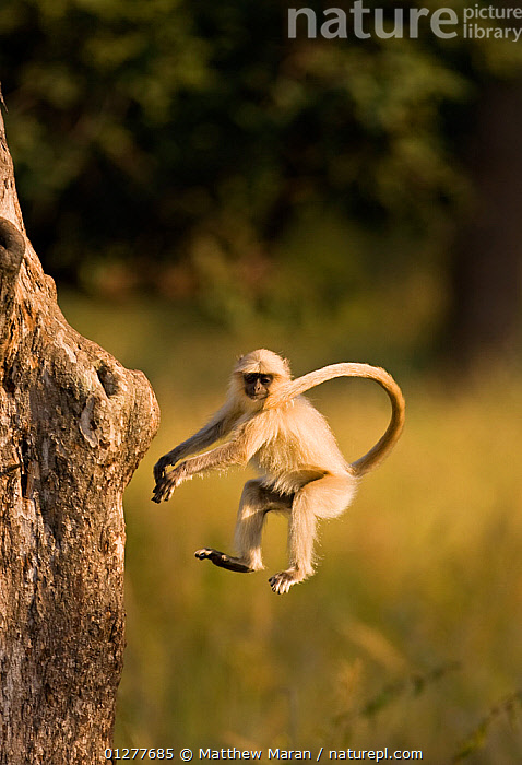 Southern plains grey / Hanuman langur {Semnopithecus dussumieri} jumping towards tree trunk, Bandhavgarh National Park, Madya Pradesh, India  ,  ACTION,agility,animal theme,ASIA,Balance,Bandhavgarh,catalogue4,Cercopithecidae,CONCENTRATION,DUSSUMIERS MALABAR LANGUR,DUSSUMIERS SACRED LANGUR,HANUMAN LANGUR,india,INDIAN SUBCONTINENT,JUMPING,LANGURS,looking down,MADHYA PRADESH,Madya Pradesh,MAMMALS,mid air,Nobody,NP,on the move,one animal,PRESBYTIS ENTELLUS,PRIMATES,SOUTHERN PLAINS GREY LANGUR,tree trunk,VERTEBRATES,VERTICAL,WILDLIFE,National Park  ,  Matthew Maran