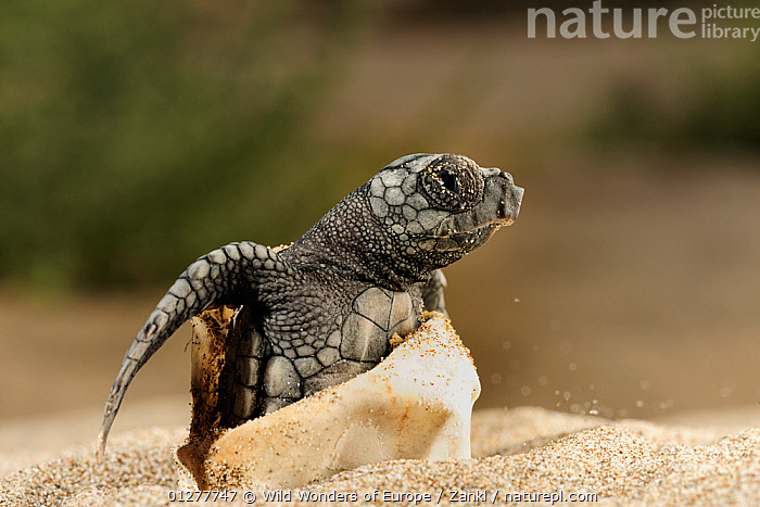 Loggerhead turtle (Caretta caretta) hatching, Dalyan Delta, Turkey, July 2009, BABIES,BEACHES,CHELONIA,CUTE,EGGS,ENDANGERED,EUROPE,HATCHING,MARINE,OUTDOOR EXHIBITION,REPTILES,SEA TURTLES,SOLVIN ZANKL,TURKEY,TURTLES,WWE, Turtles, Turtles, Turtles, Wild Wonders of Europe / Zankl