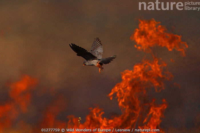 Male Red footed falcon (Falco vespertinus) hunting over burning steppe fields, Bagerova Steppe, Kerch Peninsula, Crimea, Ukraine, July 2009 WWE OUTDOOR EXHIBITION.  ,  BIRDS,BIRDS OF PREY,EUROPE,FALCONS,FIRE,FLYING,GRZEGORZ LESNIEWSKI,HUNTING,MALES,OUTDOOR EXHIBITION,STEPPE,UKRAINE,VERTEBRATES,WWE,Grassland  ,  Wild Wonders of Europe / Lesniew