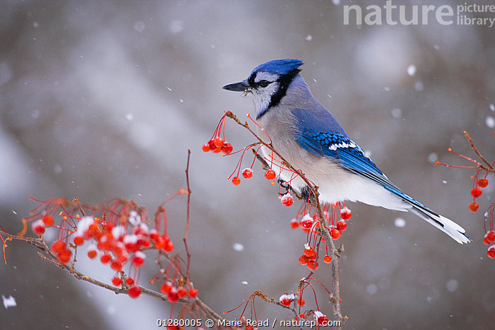 Blue Jay (Cyanocitta cristata) perched with red berries and falling snow in winter, New York, USA, BERRIES,BIRDS,BLUE,FRUIT,JAYS,RED,SEEDS,SNOW,SNOWING,USA,VERTEBRATES,WINTER,Plants,North America,Corvids, Marie Read