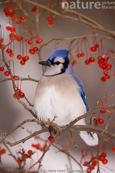Blue Jay (Cyanocitta cristata) perched with red berries in winter, New York, USA, BERRIES,BIRDS,FRUIT,JAYS,PORTRAITS,RED,SEEDS,USA,VERTEBRATES,VERTICAL,WINTER,Plants,North America,Corvids, Marie Read