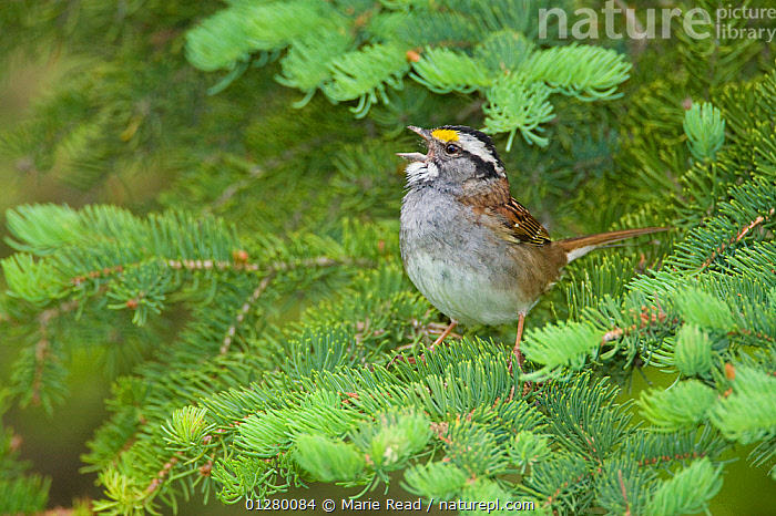 White-throated Sparrow (Zonotrichia albicollis) male singing from conifer branch, Cortland County, New York, USA  ,  BEHAVIOUR,BIRDS,CONIFEROUS,MALES,SPARROWS,USA,VERTEBRATES,VOCALISATION,North America  ,  Marie Read