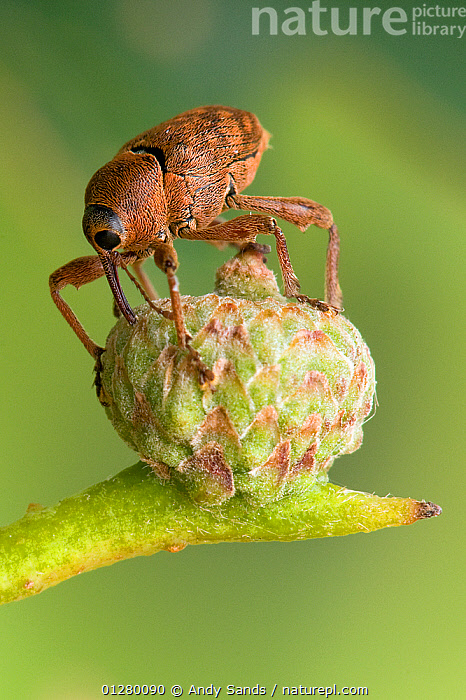 Acorn weevil (Curculio glandium) drilling hole in developing acorn in which to lay egg, UK, Captive, sequence 1/4  ,  BEETLES,BEHAVIOUR,COLEOPTERA,EGGS,EUROPE,INSECTS,INVERTEBRATES,OAK,PARASITES,PESTS,QUERCUS,REPRODUCTION,SEQUENCE,UK,WEEVILS, United Kingdom  ,  Andy Sands
