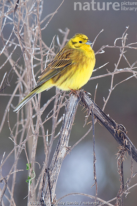 Yellowhammer (Emberiza citrinella) perched with feathers puffed out on cold winter morning, Hertfordshire, England, UK.  ,  BIRDS,BUNTINGS,COLD,EUROPE,FEATHERS,FROST,MALES,PORTRAITS,UK,VERTEBRATES,VERTICAL,WEATHER,WINTER, United Kingdom  ,  Andy Sands