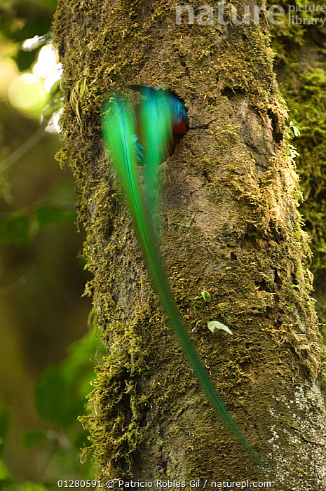 Resplendent quetzal (Pharomachrus mocinno) male dissapearing into nest hole in tree, El Triunfo biosphere reserve, Sierra Madre del Sur, Chiapas, Mexico, ARTY,BEHAVIOUR,BIRDS,CENTRAL AMERICA,COLOURFUL,ENDANGERED,GREEN,IRRIDESCENT,MALES,MEXICO,NESTS,QUETZALS,TAILS,TROPICAL RAINFOREST,VERTEBRATES,VERTICAL, Patricio Robles Gil