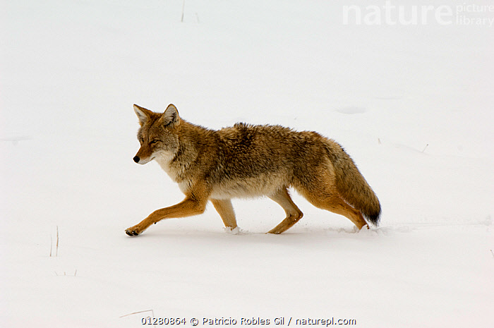 Coyote (Canis latrans) walking over snow, Yellowstone NP, Wyoming, USA, October, CANIDS,CARNIVORES,COYOTES,MAMMALS,NORTH AMERICA,NP,RESERVE,SNOW,USA,VERTEBRATES,WALKING,National Park,Dogs, Patricio Robles Gil