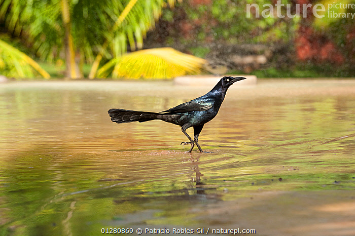 Great tailed grackle (Quiscalus mexicanus) in water, Yucatan, Mexico, BIRDS,BLACK,BLACKBIRDS,CATALOGUE2,CENTRAL AMERICA,close up,CLOSE UPS,curiosity,full length,GRACKLES,MEXICO,nature,Nobody,nosey,one animal,outdoors,side view,STANDING,VERTEBRATES,WALKING,WATER,WILDLIFE,Yucatan, Patricio Robles Gil