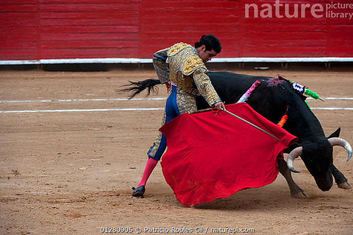 Nature Picture Library Matador Uses Red Cloak To Challenge Bull In