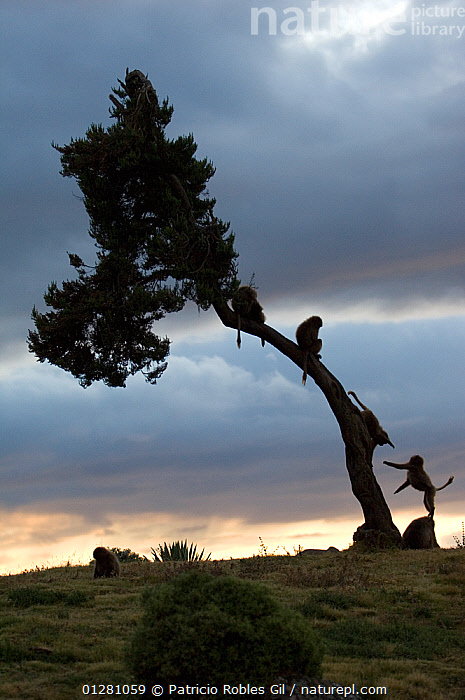 Silhouette of young Gelada baboons (Theropitecus gelada) playing in tree at dawn, Simien Mountains NP, Ethiopia, BABIES,BABOONS,BEHAVIOUR,CATALOGUE2,cloudy,DAWN,Daybreak,EAST AFRICA,Ethiopia,four animals,FRIENDSHIP,MAMMALS,MONKEYS,Morning,nature,NP,outdoors,play,playing,PRIMATES,RESERVE,Silhouette,SILHOUETTES,Simien Mountains National Park,SKY,Tree,tree trunk,TREES,VERTEBRATES,VERTICAL,WILDLIFE,YOUNG,young animal,Concepts,National Park,Communication,PLANTS, Patricio Robles Gil