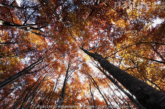 Looking up into Beech (Fagus sp) forest canopy in autumn, Piatra Craiului NP, Transylvania, Southern Carpathian Mountains, Romania, October 2008, CORNELIA D�RR,DICOTYLEDONS,EUROPE,FAGACEAE,FORESTS,LOW ANGLE SHOT,NP,PLANTS,RESERVE,ROMANIA,TREES,TRUNKS,WWE,National Park, Wild Wonders of Europe / Dörr
